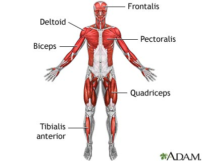 muscles of the upper body-front view
