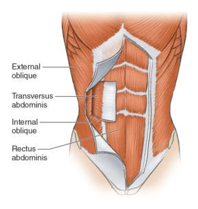 textbook drawing of the abdominal muscles