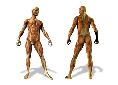 anatomical bodies