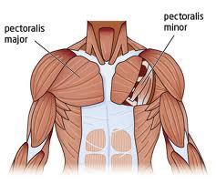 pec muscles