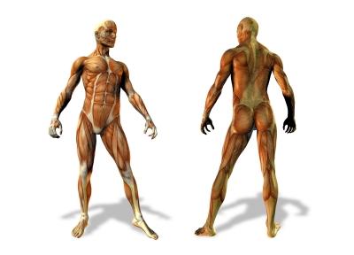anatomical bodies